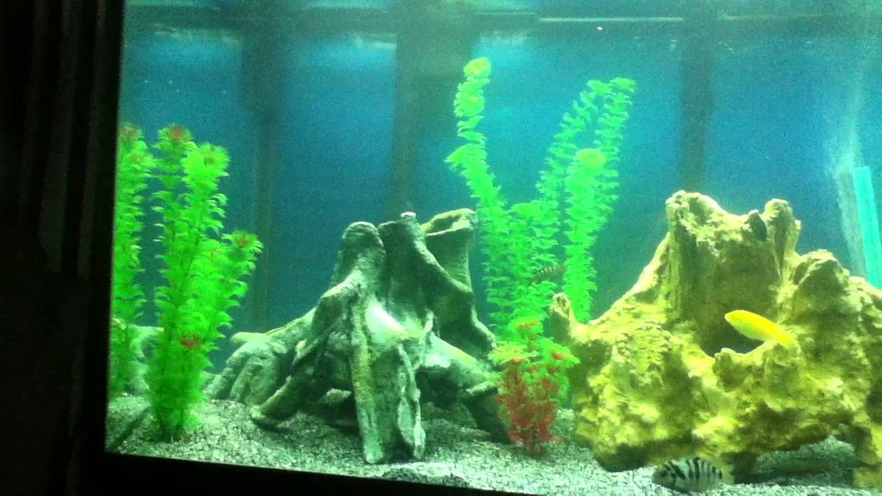 70 gallon fish tank freshwater cichlids youtube for 70 gallon fish tank