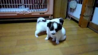 パピヨンめぐちゃん子犬・1月25日誕生。2月25日。http://symphony...