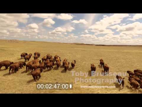 Great Plains Buffalo Footage