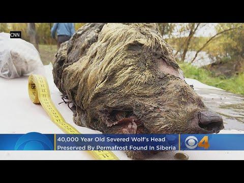 Lewis & Logan - 40,000 Year Old Frozen Wolf Head Found In Siberia