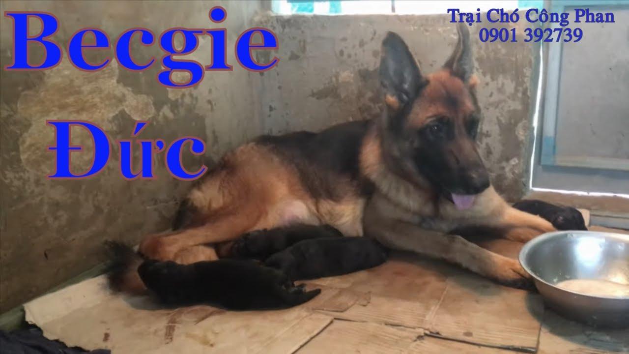 Bốn Bầy Chó Becgie Đức Con | Chó Becgie Đức Trưởng Thành
