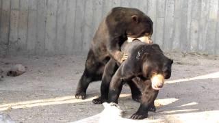 Борьба малайских медведей / Struggle of malayan bears