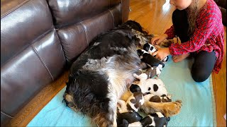 Weighing 4 Day Old English Springer Spaniel Puppies