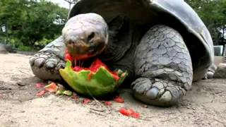 Tortoise eating style, kachua ka khana.