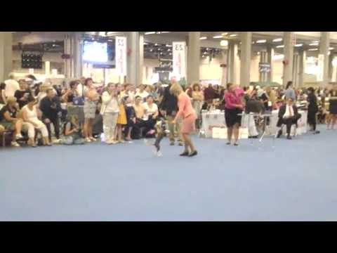 Best Of Breed competition, chinese crested, World Dog Show 2014