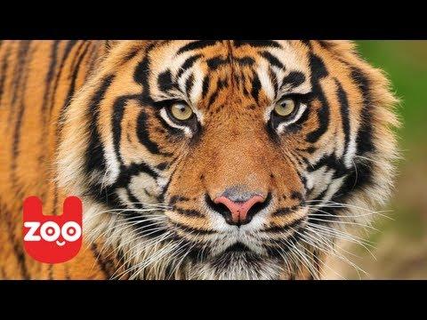 Sumatran Tigers get New Home in London Zoo