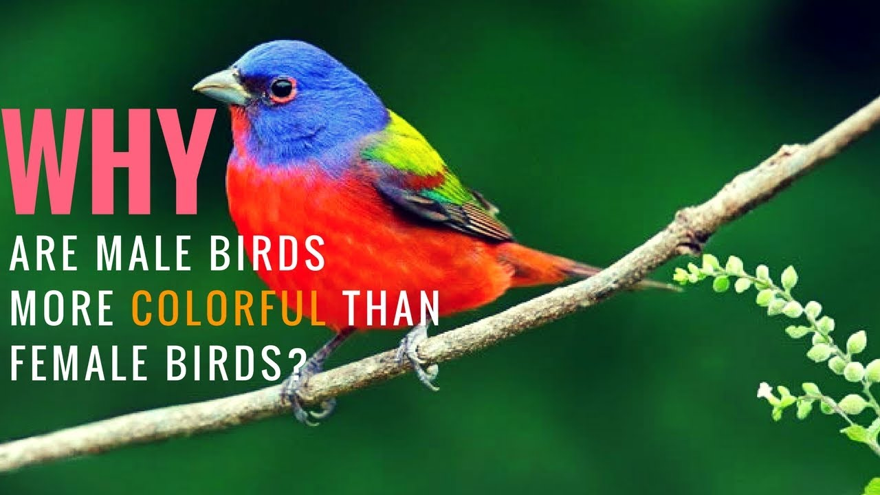 Why Are Male Birds More Colorful Than Female Birds - Youtube-3483