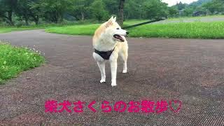 本日お休みのため公園で動画撮ってきましたー。9歳の柴犬さくらshibainu...