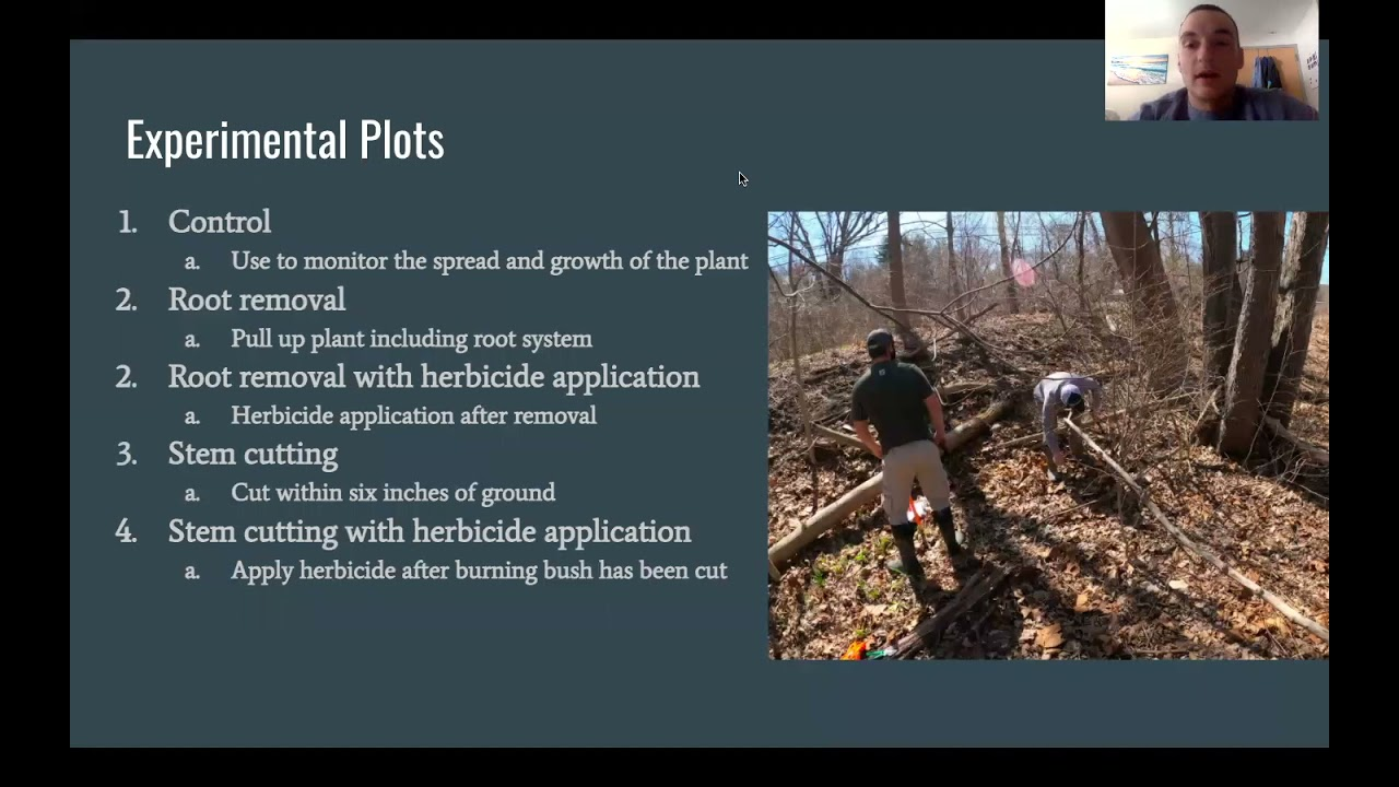 Long-term Ecological Restoration Project: Invasive Burning Buch Removal on Westfield State...