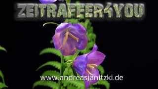 Pfirsichblättrige Glockenblume Campanula Persicifolia Peach-leaved Bellflower Timelapse