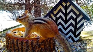 Rise of the Chipmunks: Relaxing Video For Cats and Pets