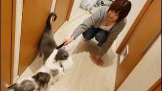 ママに甘える灰色猫にウザ絡みする空気読めない白モフ猫
