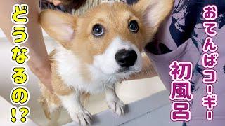 コーギーの子犬初めてのお風呂に怒る!暴れる!
