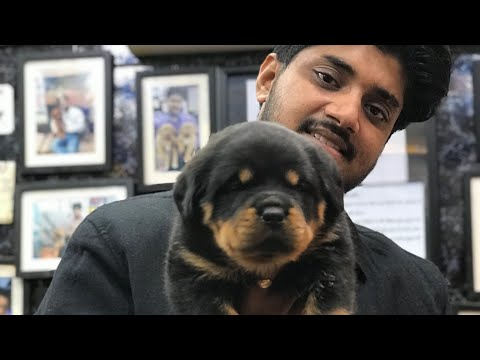 Ultimate Quality Rottweiler puppies call 7275863266 / 9140752208