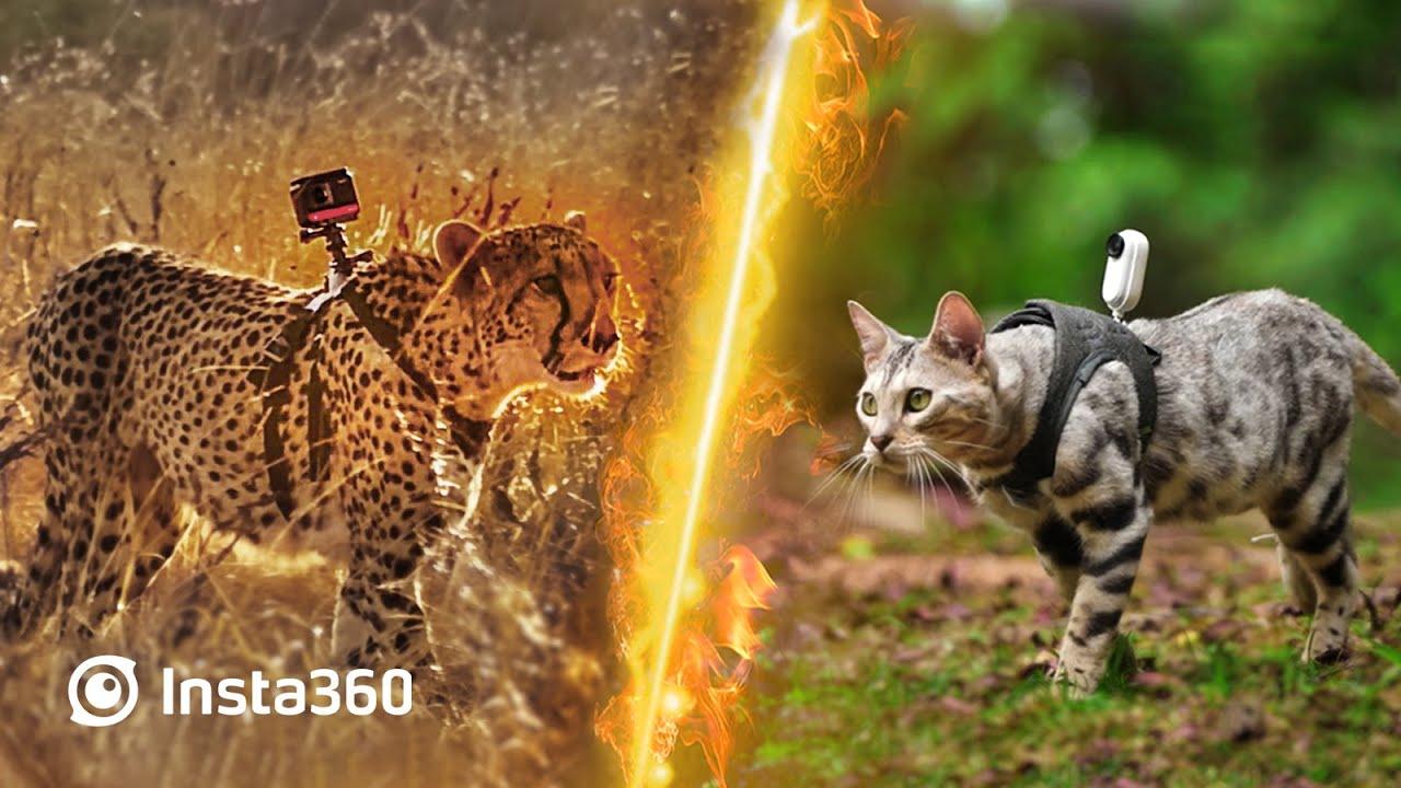 Insta360: Cheetah vs Cat