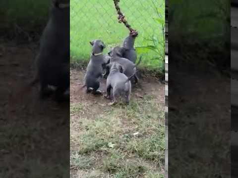 Pack Pitbull Puppies Love To Tug!