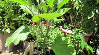 The Basics for Growing Eggplant in Containers - The Rusted Garden 2013