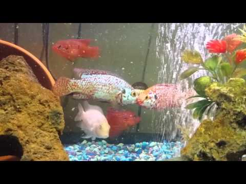 Blue jewel cichlid red jewel cichlid convicts