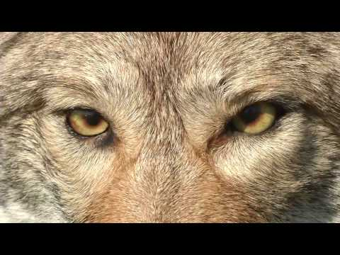 Coyote Education and Safety