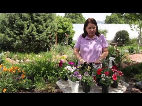 How Do I Force Petunias to Bloom? : Grow Guru