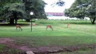 Impala Running Around the Mukuba Hotel Grounds in N