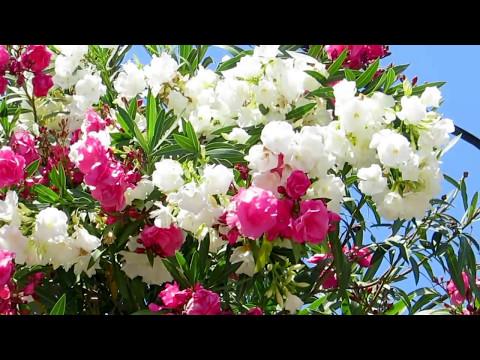 Олеандр розовый махровый. Лютики-цветочки КУПЛЯ-ПРОДАЖА