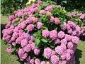 HORTENSIAS (Hydrangea) PLANTAS ORNAMENTALES