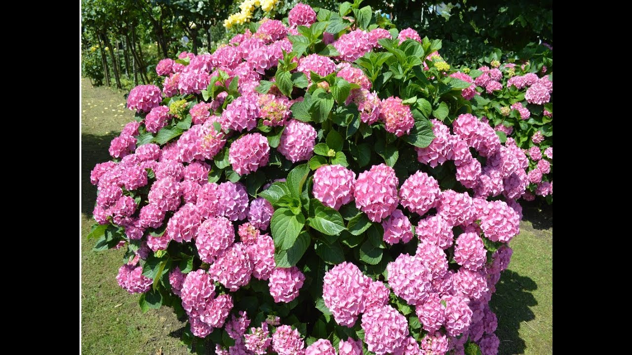 Hortensias hydrangea plantas ornamentales youtube for Plantas ornamentales