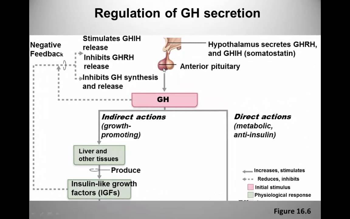 Growth hormone control and function - YouTube