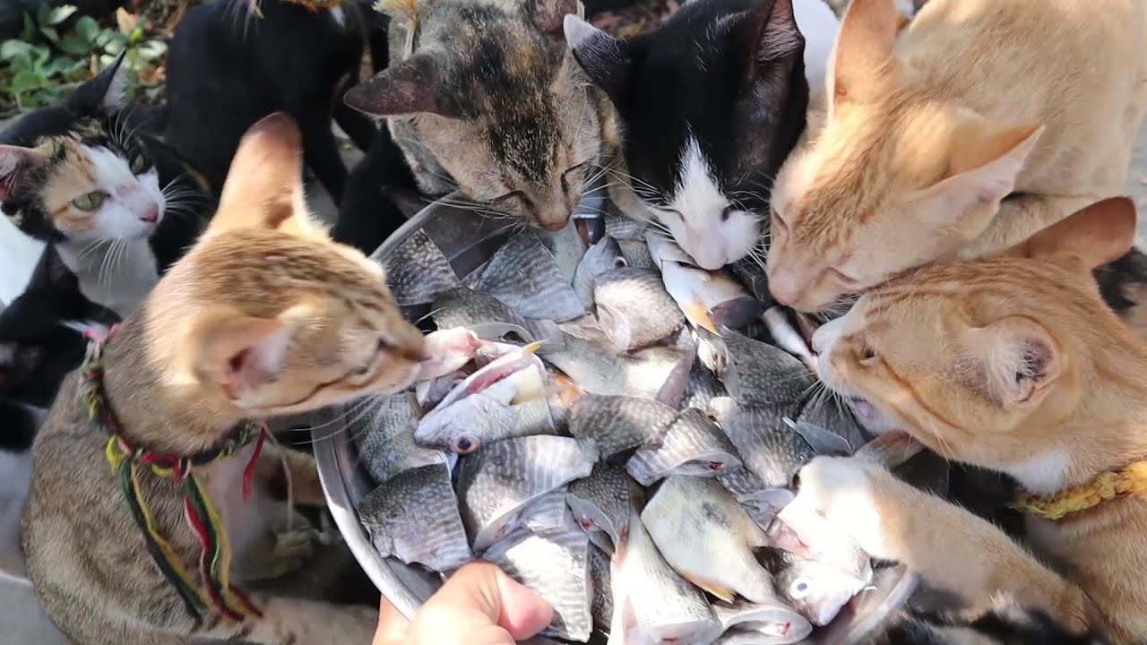 Kitten And Cats Meowing Eating Raw fish | Cats Eating Raw Fish | Can Cats Eat Full Fish?