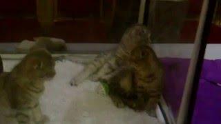 Котята Скоттиш-фолд (Шотландская вислоухая кошка)