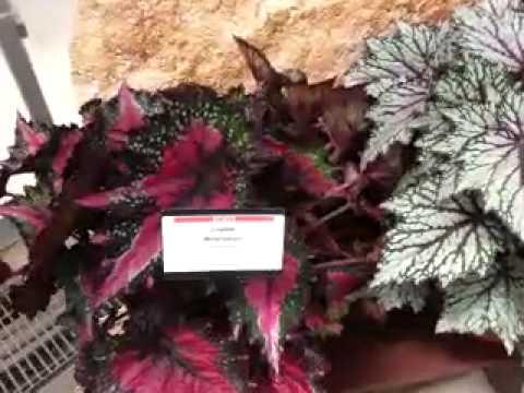 2014 Spring Trials: BALL Ingenuity Jurassic Rex Begonia