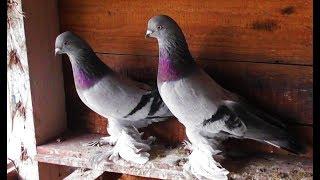 Делаю игровых-столбовых голубей сам. Работа с метисами 26.09.19