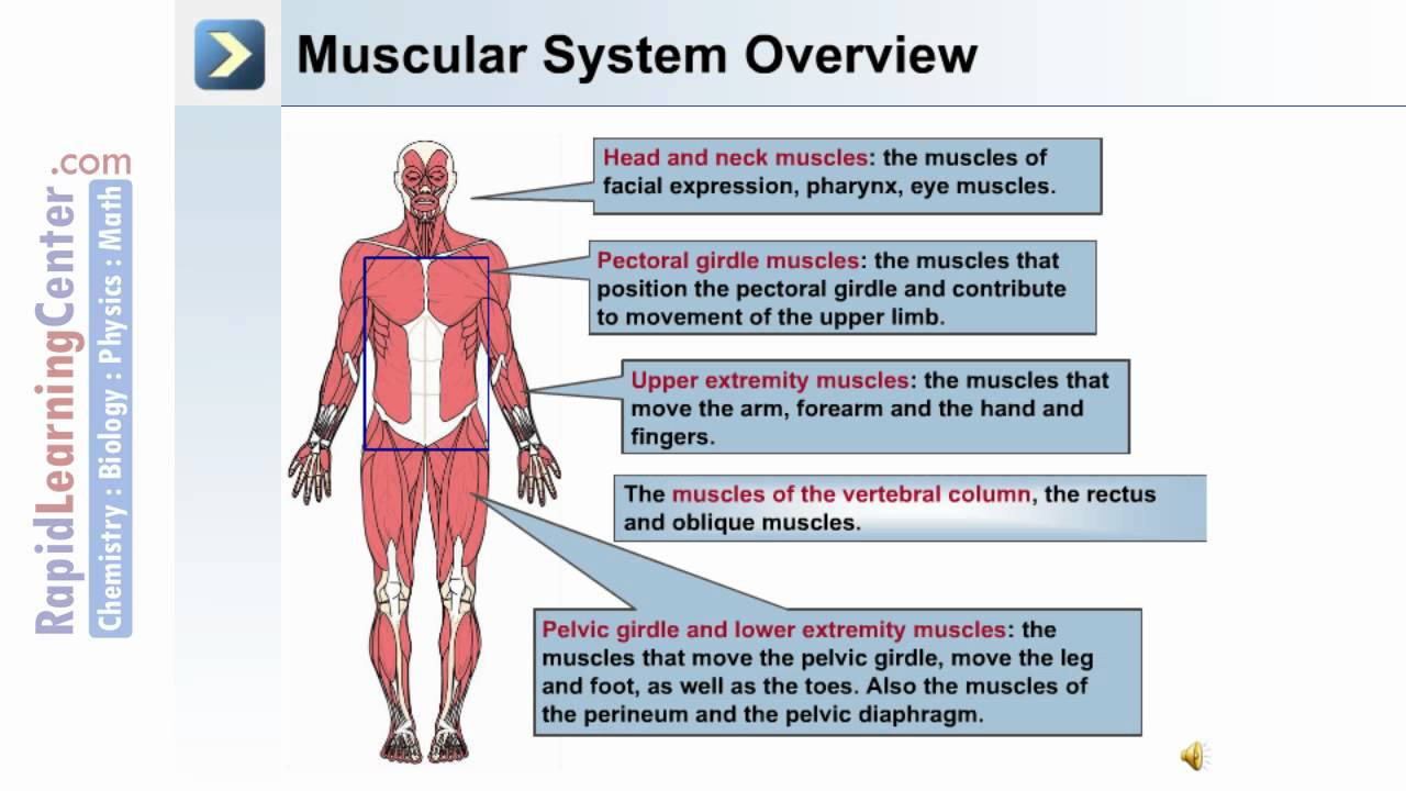 Axial and Appendicular Musculature - YouTube