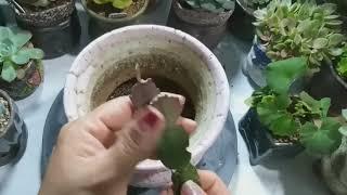가재발 선인장 풍성하니 잘키우는 분갈이 삽목 번식 물주기 꽃피는시기