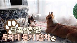 강아지 입양 1일  - 망고베리의 달콤 살벌한? 동거 / 웰시코기 망고베리 / Dog adoption