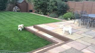 Poppy Shih Tzu / Bichon Frise Cross & Harry Shih Tzu Dogs Playing In The Garden