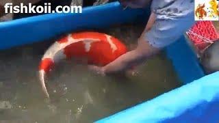 1milion USD - Japanese Koi Fish thumbnail