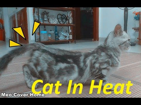 Signs Your Cat In Heat Cats In Heat How To Deal With Cat In
