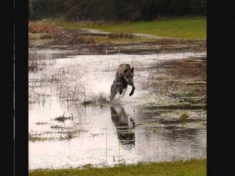 Obie the Deerhound on the move.