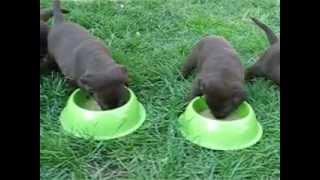 Labrador Retriever, Mladiči Stari 1 Mesec, Psarna Golden Wally, Za Oddajo Bodo V Začetku Maja 2014