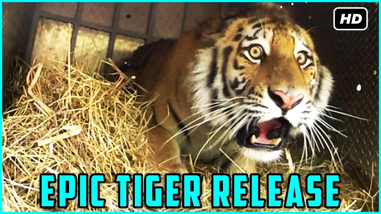 Super rare tiger release into wild - epic tiger release - rare wild aninmals