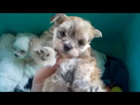 The Faery Dog Mother: bucket full of poopies! Lhatese, Morkie, Maltese