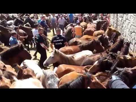 La lucha ancestral entre hombre y caballo continúa en Sabucedo