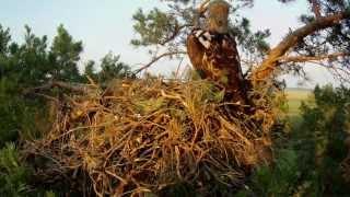гнездо орла могильника