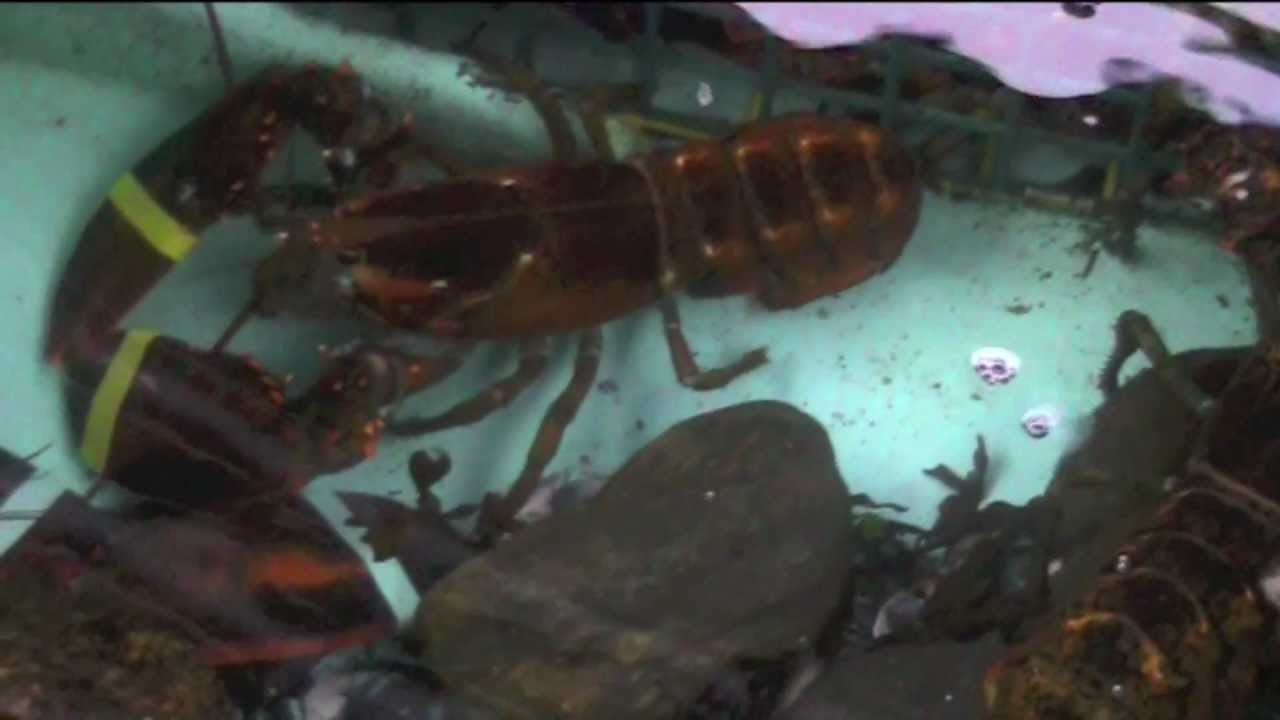 Live Lobster Tank at Kaler's Restaurant in Boothbay Harbor ...