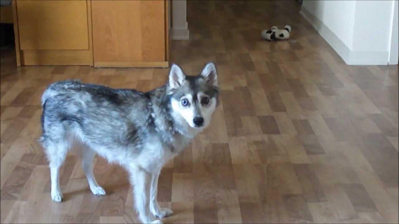 "Bien connu Kiwi"", Alaskan Klee Kai (Miniature Husky) - YouTube DY15"