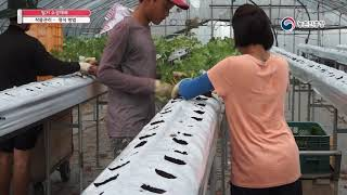 2019 농업기술동영상_39. 딸기 수경재배
