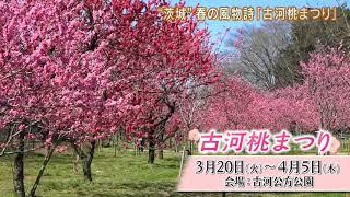 磯山さやかの旬刊!いばらき『古河桃まつり』ダイジェスト版(平成30年3月16日放送)