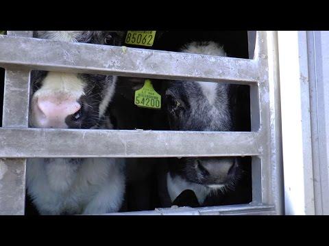 EU calves exported live to Israel HD